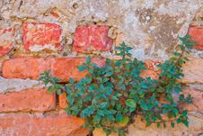 Free Green Plant On Old Red Bricks Wall Royalty Free Stock Images - 22961469