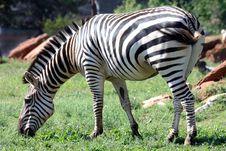 Free Zebra Royalty Free Stock Image - 22965796