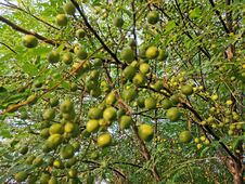 Azadirachta Indica Known In Pakistan As Neem Stock Image