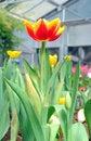 Free Orange Tulips Royalty Free Stock Photos - 22970088