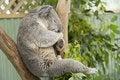 Free Sleeping Koala Stock Image - 22976301