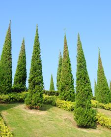 Free Pine Royalty Free Stock Photos - 22970058