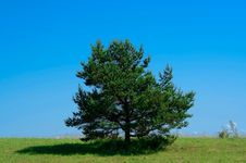 Free Lonely Pine Tree Royalty Free Stock Photo - 22970855