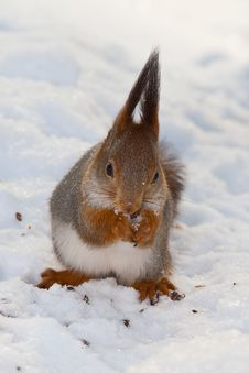 Squirrel On Snow Royalty Free Stock Photo