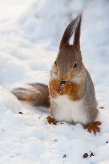 Free Squirrel On Snow Royalty Free Stock Images - 22970979