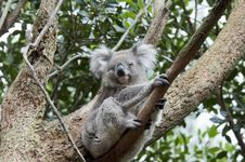 Free Koala Stock Photo - 22975020