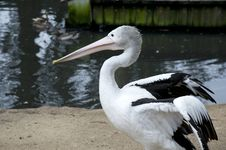 Free Pelican Royalty Free Stock Photography - 22975337
