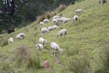 Free Herd Of Sheep Stock Images - 22975444