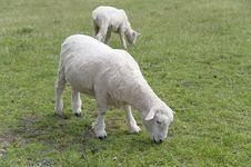 Free Sheep Stock Image - 22975741
