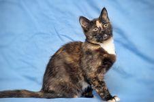 Free Tortoiseshell Cat Stock Image - 22980281