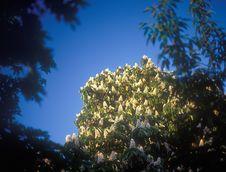 Free Chestnut Blossoms. Stock Photos - 22980353