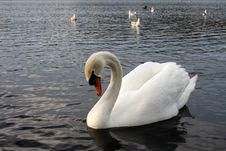 Swan On Lake Royalty Free Stock Image