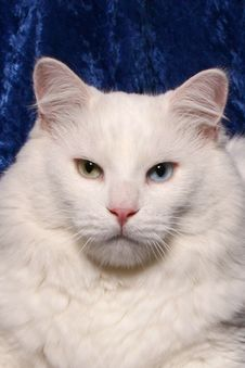 Free Green And Blue Eyed White Cat Stock Image - 22983661