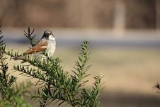 Free Sparrow Perched In Bush Royalty Free Stock Image - 22983896