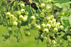 Free Green Currants Growing On Shrub Stock Photos - 22990653