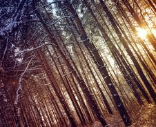 Free Winter Forest Royalty Free Stock Photos - 22991478
