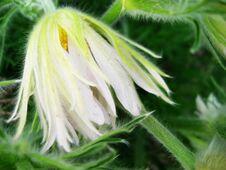 Free White Pasqueflower Stock Images - 22993454