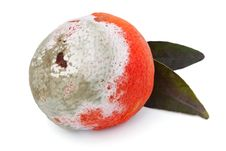 Free Rotten Tangerine Stock Photography - 22993812
