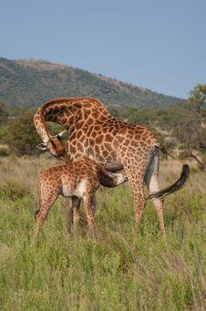 Free Giraffe With Calf Stock Photos - 22995183