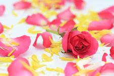 Free Red Rose Royalty Free Stock Photo - 22995365