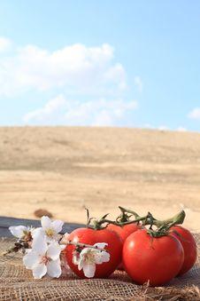 Organic Tomatoes Grown Royalty Free Stock Image