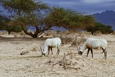 Free Antelope Oryx In Hai Bar, Israel Stock Image - 22997071