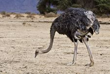 Free African Ostrich &x28;Struthio Camelus&x29; In Israel Royalty Free Stock Photography - 22997157