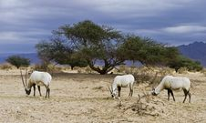 Free Antelope Oryx In Hai Bar, Israel Stock Photography - 22997242