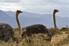 Free African Ostrich &x28;Struthio Camelus&x29; In Israel Royalty Free Stock Photography - 22997267