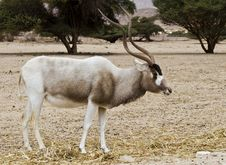 Free The Scimitar Horned Addax &x28;Addax Nasomaculatus&x29; Royalty Free Stock Image - 22997336