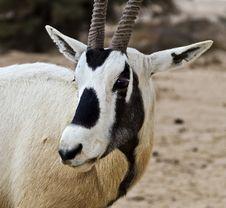 Free Antelope Oryx In Hai Bar, Israel Stock Images - 22997454