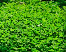 Free Meadow Clover Stock Image - 22997501