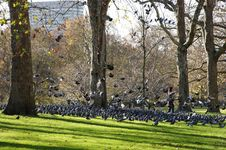 Free A Lot Of Pigeons In St. Jame´s Park Stock Images - 22999144