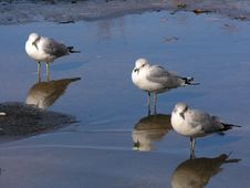 Free Three Birds Royalty Free Stock Photos - 230108