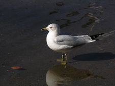Free A Lone Seagull Royalty Free Stock Images - 230109