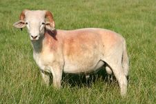 Free Mountain Sheep Royalty Free Stock Image - 230196