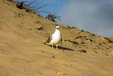 Free Seagull On The Beach Stock Images - 230694
