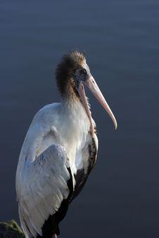 Free Pelican Stock Image - 230711