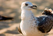Free Seagull On Beach Royalty Free Stock Images - 230729