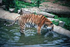 Free Siberan Tiger Drinking Stock Photo - 231090