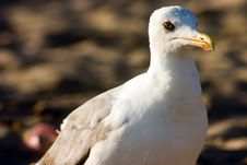 Free Seagull On The Beach Stock Image - 231331