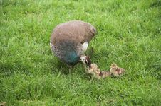 Free A Peafowl With Kids Stock Photo - 232140