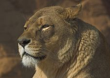 Free Lioness Royalty Free Stock Photo - 232265
