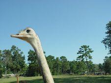 Free Emu Stock Photo - 232580