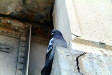 Free Pigeon Stock Image - 233581