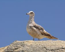 Free Seagull Stock Images - 233854