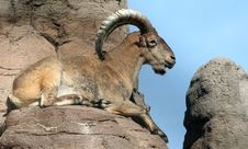 Free Barbary Sheep On Top Of The World Stock Photo - 234040