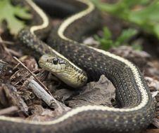 Free Garden Snake Royalty Free Stock Image - 234266