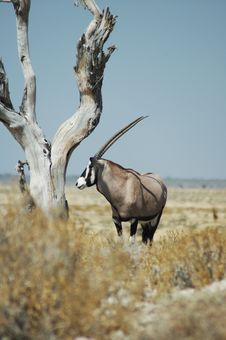 Free Gemsbok In Etosha Stock Photo - 234820