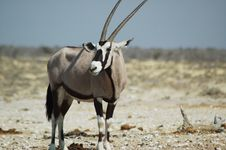 Free Gemsbok In Etosha 4 Royalty Free Stock Photography - 234857